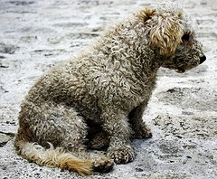 dog with matted coat
