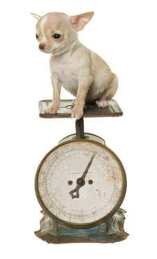 chihuahua on weigh scale